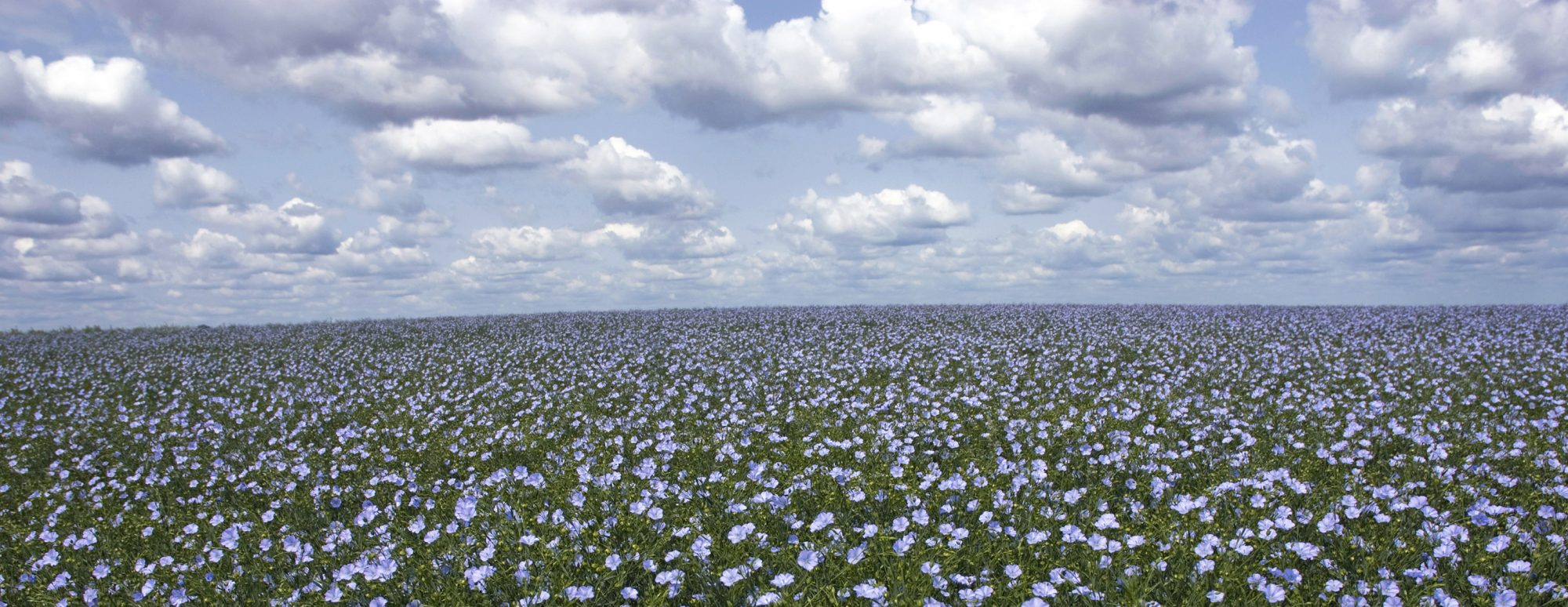 Flax Field Photo